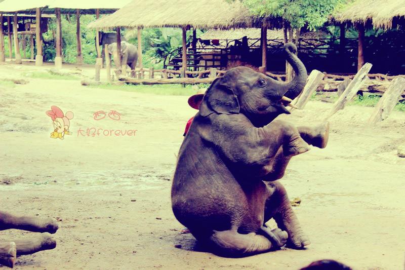 想到泰国,便想到了大象,大象在我热爱的动物里仅排在狗与马之后,于是在清迈的第三天我安排了大象大本营一日游。 我爱大象,因为大象有长长的鼻子,圆圆的眼睛,连睫毛都是长长的,那个憨厚可掬的模样可爱至极。 以至于我讨厌看动物世界,讨厌看到扑打厮杀,讨厌看到人类猎奇。 昨天陪老公看一双足球鞋,店员说是袋鼠皮做的,这有什么好炫耀的?我脑海里立马浮现出一幅可怕的场景:可爱的袋鼠被人类追赶、捕杀、剥皮,袋鼠妈妈兜着几个可爱的小袋鼠。。。。不许买不许买!我要封杀这个牌子!可老公说很多牌子的足球鞋都有用袋鼠皮。。。。。 我