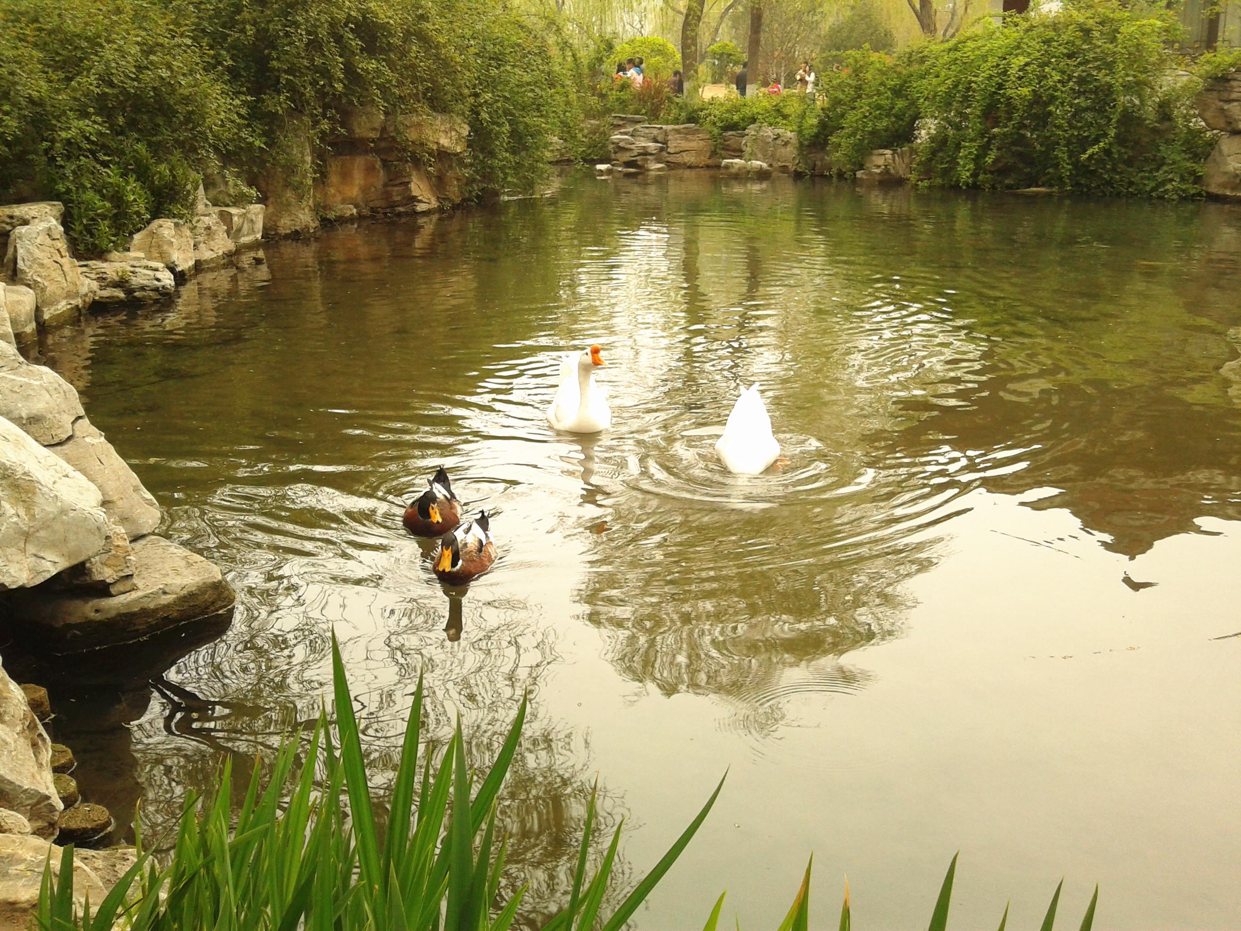 你还记得大明湖畔的大白鹅吗?-小蚊图说小长假