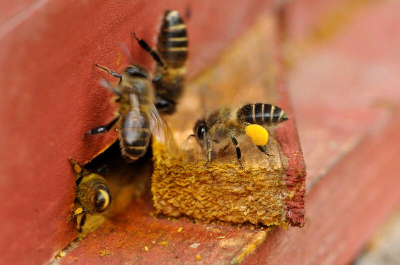 """栖息地生态保护社区面积以及""""熊猫蜂蜜""""产量进一步增"""